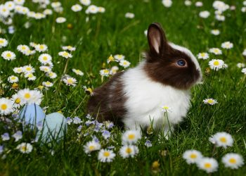 animal-bright-bunny-chamomile-372166